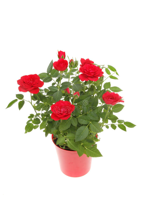 Usine de Rose images stock