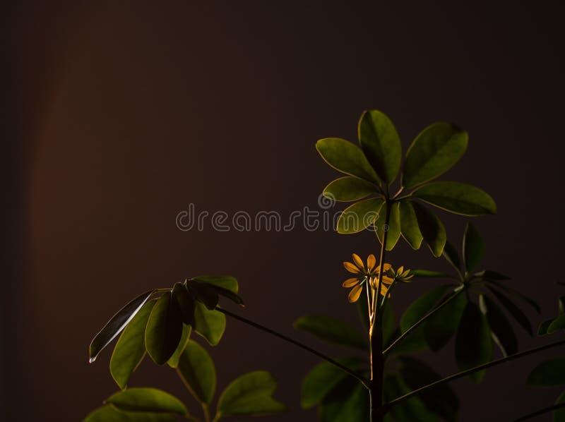 Usine de Shefflera avec le soleil brillant là-dessus image libre de droits