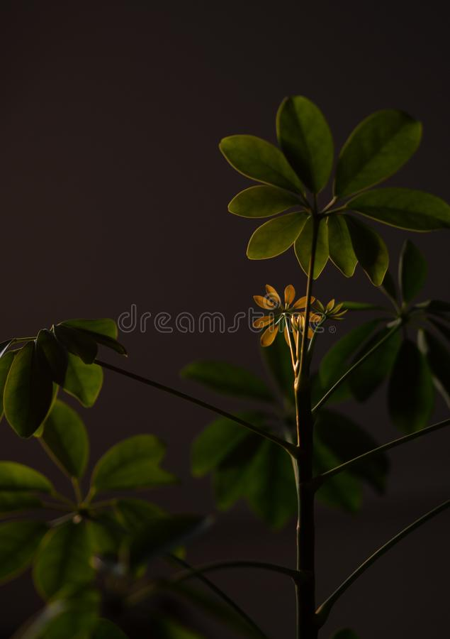 Usine de Shefflera avec le soleil brillant là-dessus photo stock