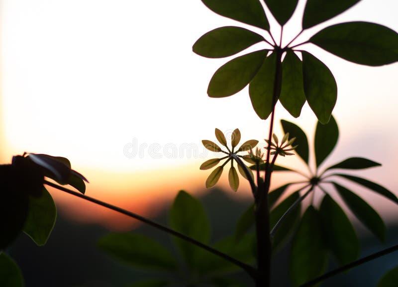 Usine de Shefflera réglée contre un coucher du soleil image stock
