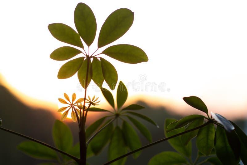 Usine de Shefflera réglée contre un coucher du soleil images libres de droits