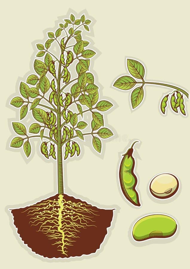 Usine de soja. Vecteur f d'isolement par illustration verte illustration libre de droits