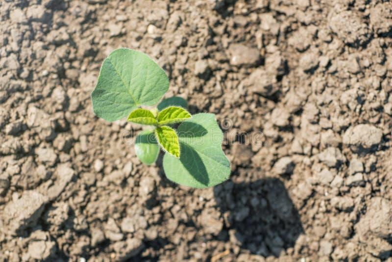 Usine de soja vert sur le champ au printemps Jeune usine de soja images libres de droits