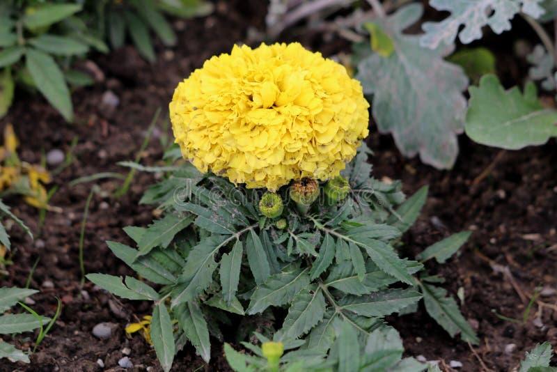 Usine de souci ou de Tagetes avec la fleur posée jaune lumineuse de floraison entièrement ouverte entourée avec les bourgeon flor photos libres de droits