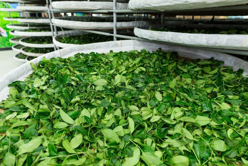 Usine de thé à TaiTung photos libres de droits