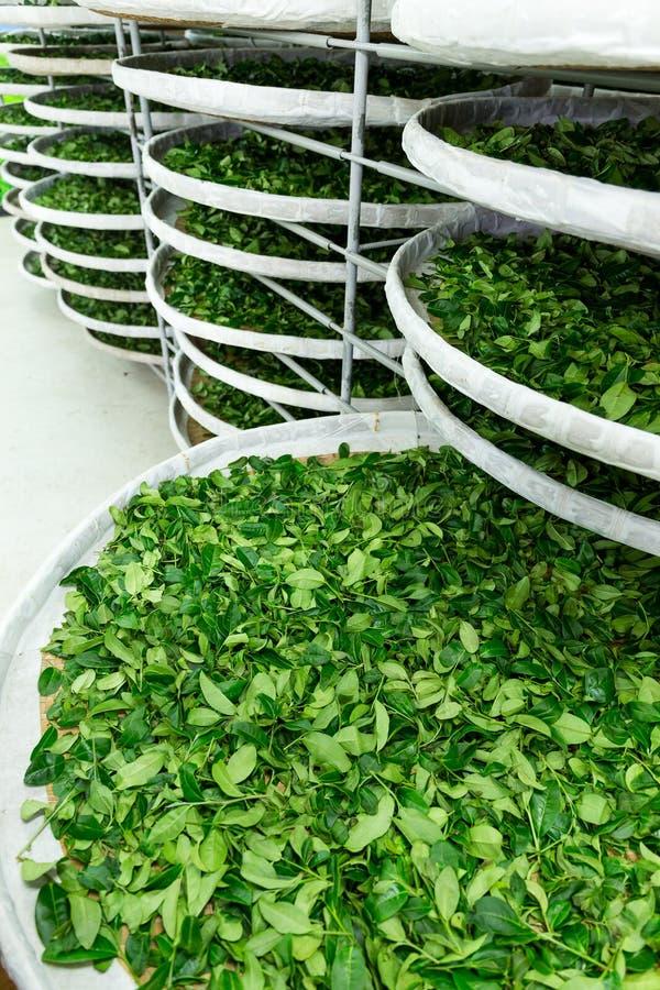 Usine de thé photographie stock libre de droits