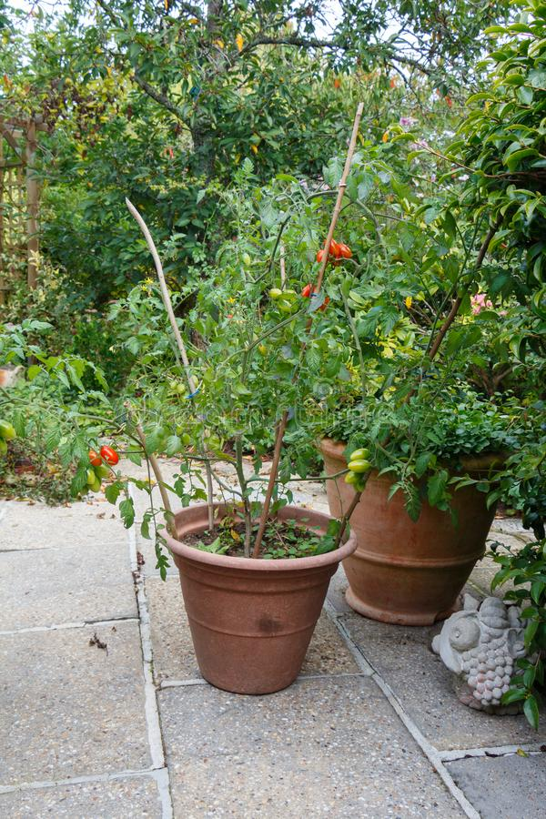 Usine de tomates-cerises dans un pot de fleurs image stock
