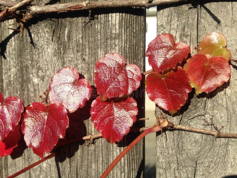 Usine de Tricuspidata de Parthenocissus sur une barrière en bois au soleil en automne photographie stock