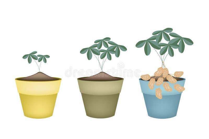 Usine de trois arachides dans des pots de fleur en céramique illustration de vecteur