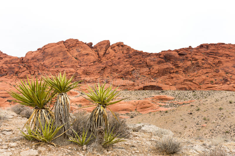 Usine de yucca de désert avec la roche rouge Ridge et l'espace de copie images stock