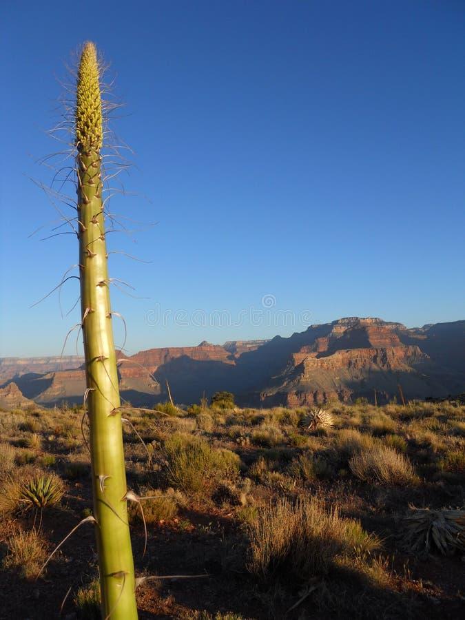Usine de yucca en fleur images libres de droits