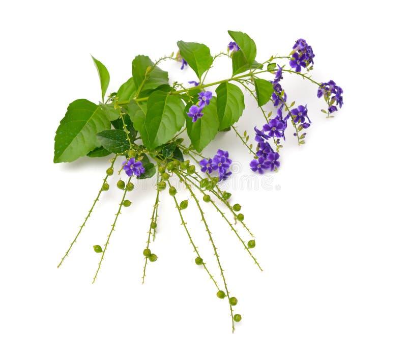 Usine Duranta avec des fleurs d'isolement sur le fond blanc photographie stock