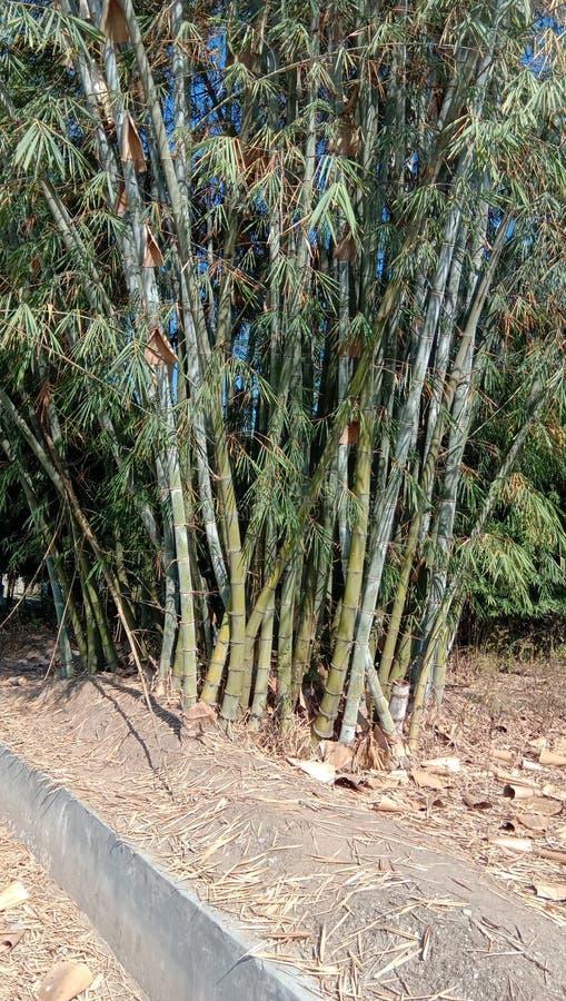 Usine en bambou photo libre de droits