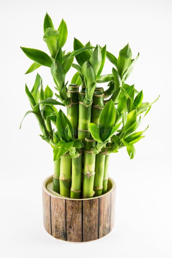 Usine en bambou chanceuse d'isolement photos stock