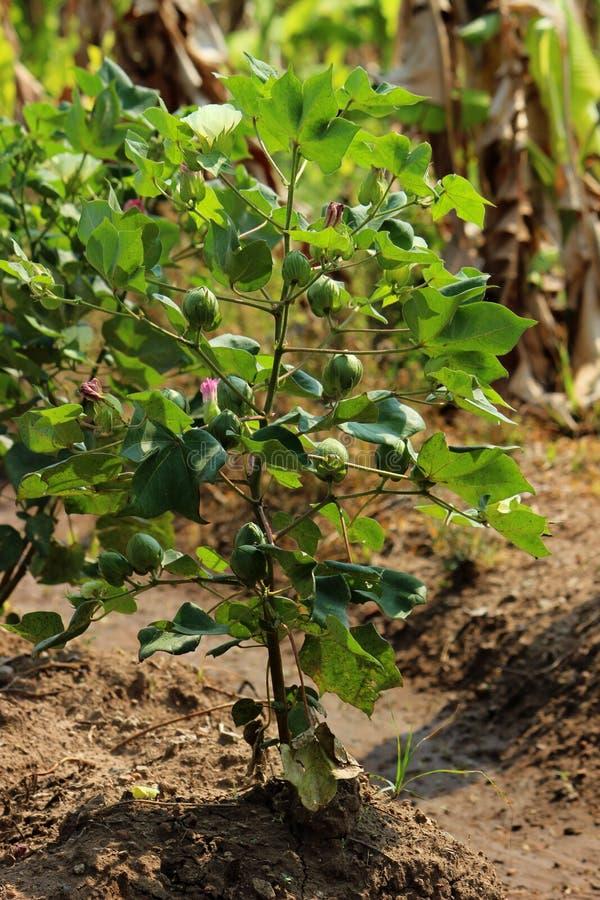 Usine et bourgeons de coton photo libre de droits