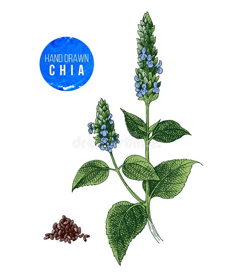 Usine et graines de Chia illustration libre de droits