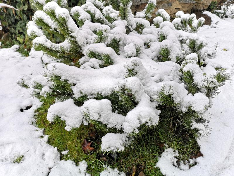 Usine ? feuilles persistantes de sempervirens de buxus couverte par la neige image libre de droits