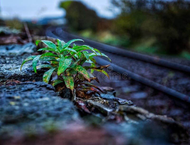 Usine feuillue verte humide s'élevant sur le mur en pierre un jour humide image stock