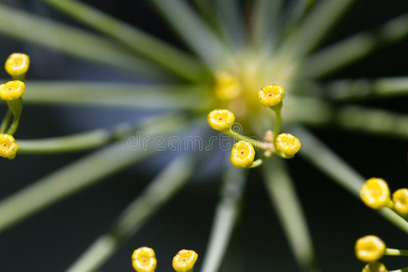 Usine fleurissante d'aneth photos libres de droits