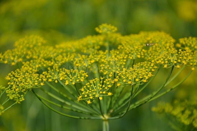 Usine fleurissante d'herbes d'aneth dans le jardin (graveolens d'Anethum) Fermez-vous des fleurs de fenouil images libres de droits