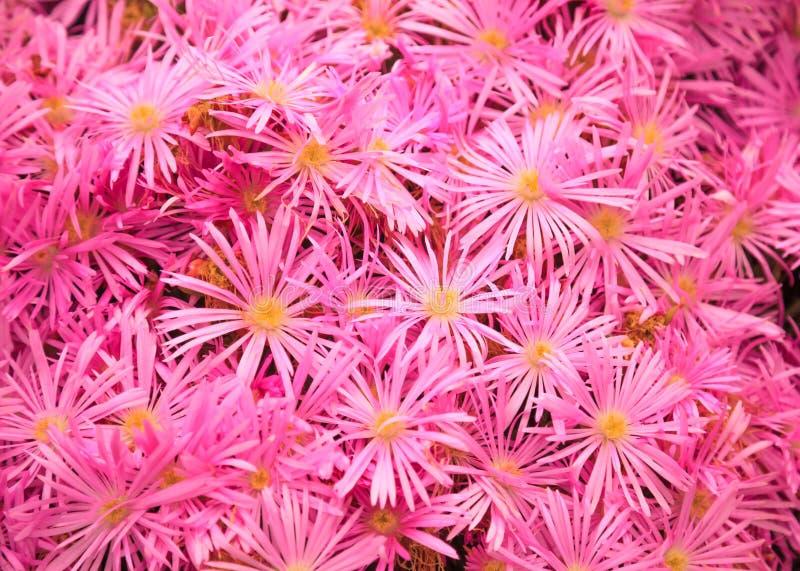 Usine fleurissante dans la famille d'Aizoaceae : Les vygies roses de marguerites ou de Buck Bay de Livingstone, l'usine de glace  image stock