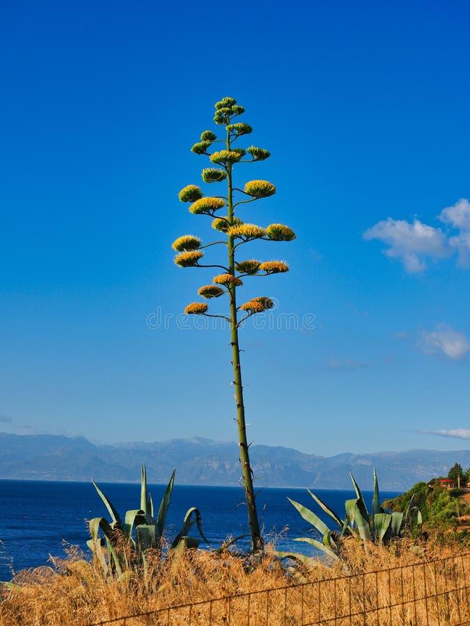 Usine fleurissante de cactus d'agave image stock