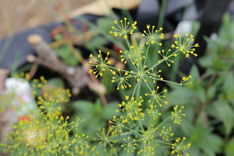Usine fleurissante jaune d'herbe de fenouil images libres de droits