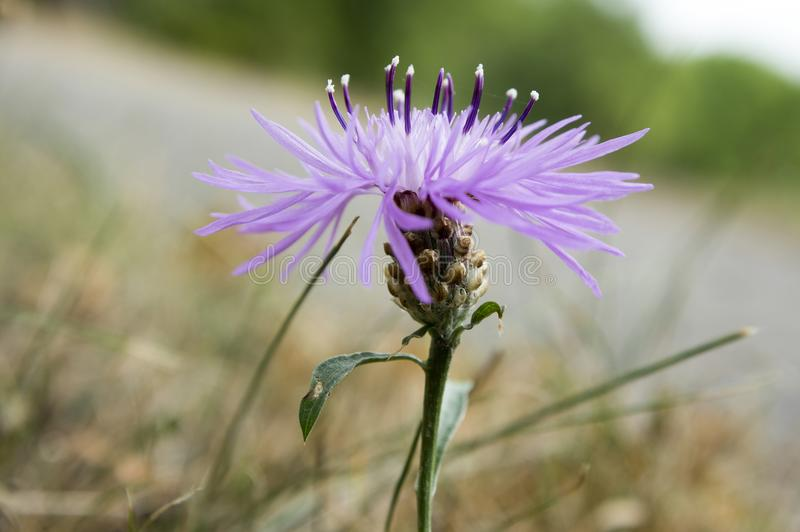 Usine fleurissante pourpre violette de jacea de Centaurea photo libre de droits