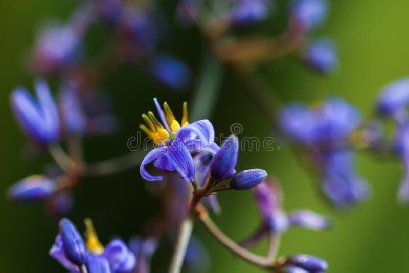 Usine herbeuse ornementale avec de petites fleurs pourpres images libres de droits
