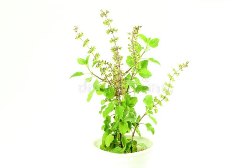 Usine indienne d'herbe de tulsi médicinal ou de basilic saint sur le fond blanc images stock