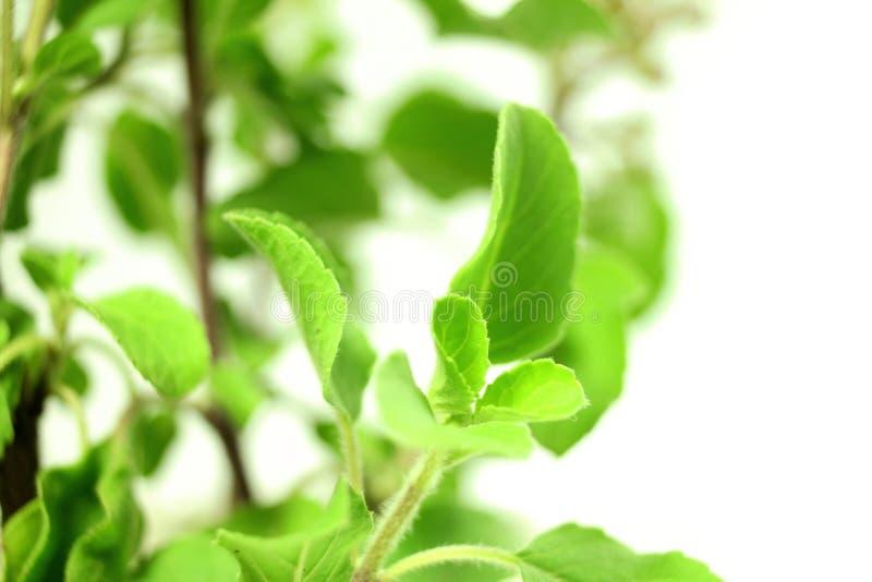 Usine indienne d'herbe de tulsi médicinal ou de basilic saint sur le fond blanc images libres de droits
