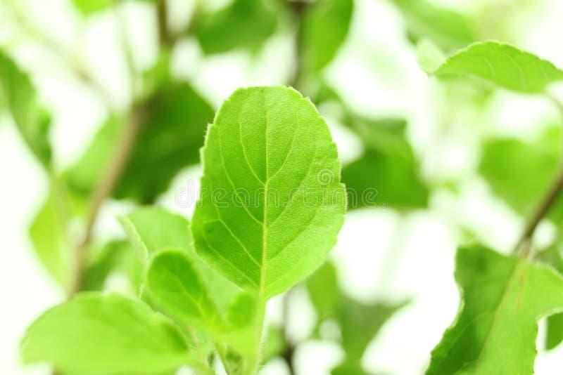 Usine indienne d'herbe de tulsi médicinal ou de basilic saint sur le fond blanc photos stock