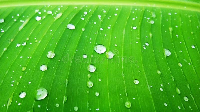 Usine indienne de feuille de vert de banane image libre de droits