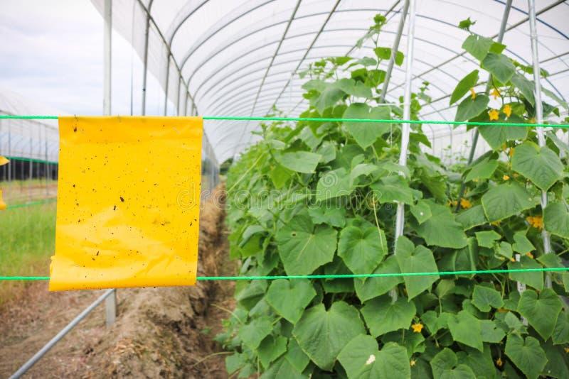Usine jaune de concombre de piège de colle d'insecte dans l'agriculture de serre chaude image stock