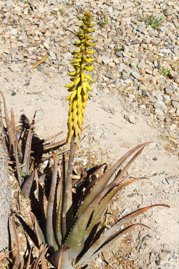 Usine jaune de Vera d'aloès à la lumière du soleil lumineuse avec le fond de roche photo libre de droits