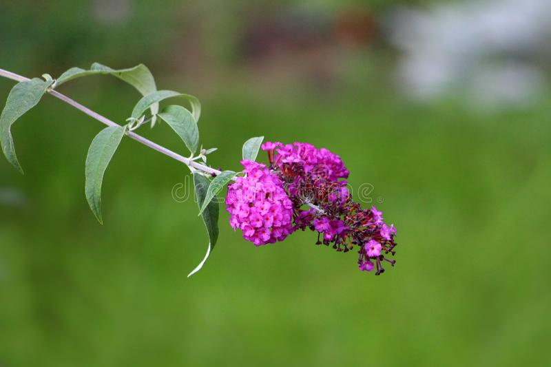 Usine lilas d'été ou de davidii simple de buddleia avec le lilas à la fleur partiellement ouverte violette dans la transitoire py image stock