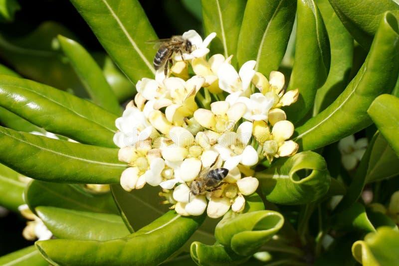 Usine méditerranéenne fleurissante avec deux abeilles là-dessus Bordure parfumée de fleur blanche de Pittosporaceae avec les feui photos stock
