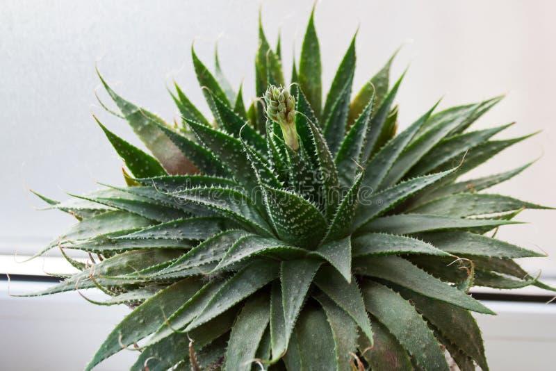 Usine mise en pot d'aloès en fleur photographie stock libre de droits