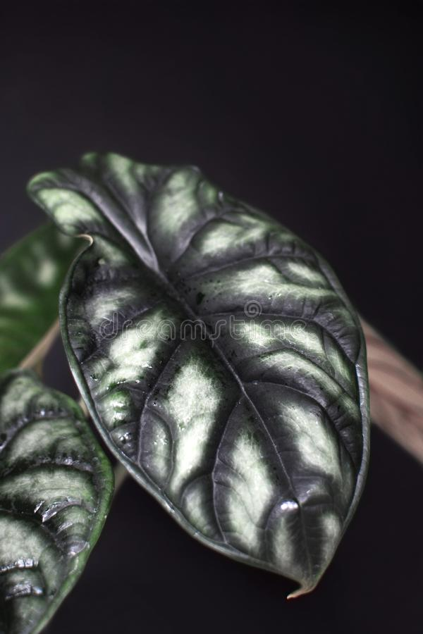 Usine mise en pot tropicale exotique de maison de Baginda Cuprea Dragon Scale d'Alocasia sur le fond noir photographie stock libre de droits