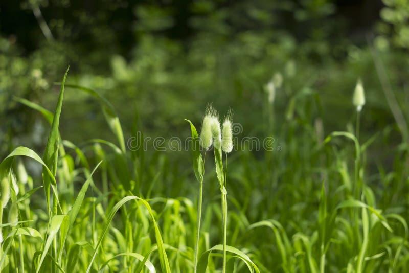 Usine molle et pelucheuse de Lagurus -, fleurs sèches employées pour faire des bouquets photo libre de droits