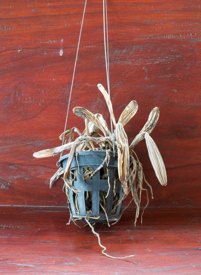 Usine morte d'orchidée photos libres de droits