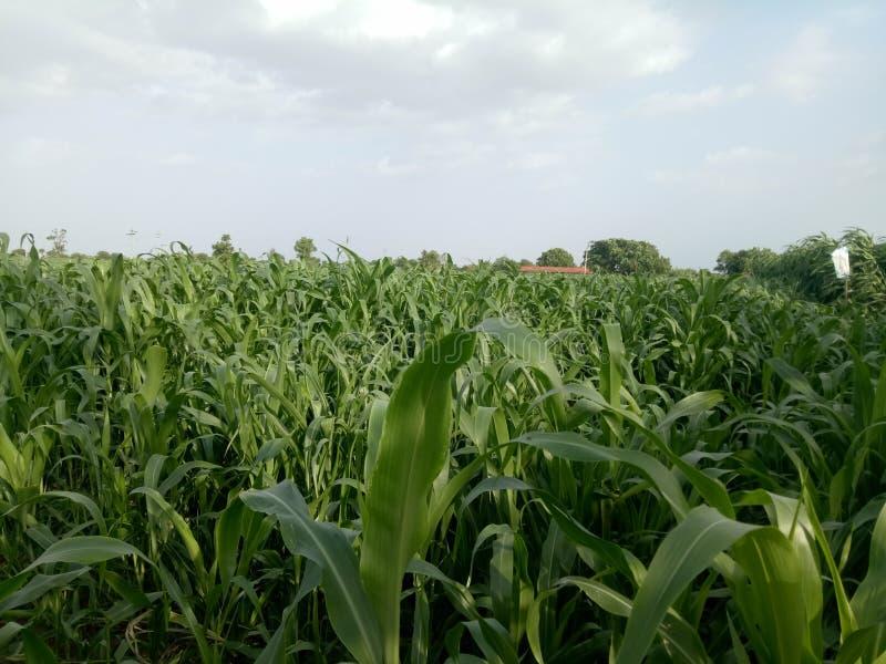 Usine naturelle de souffle de maïs images libres de droits