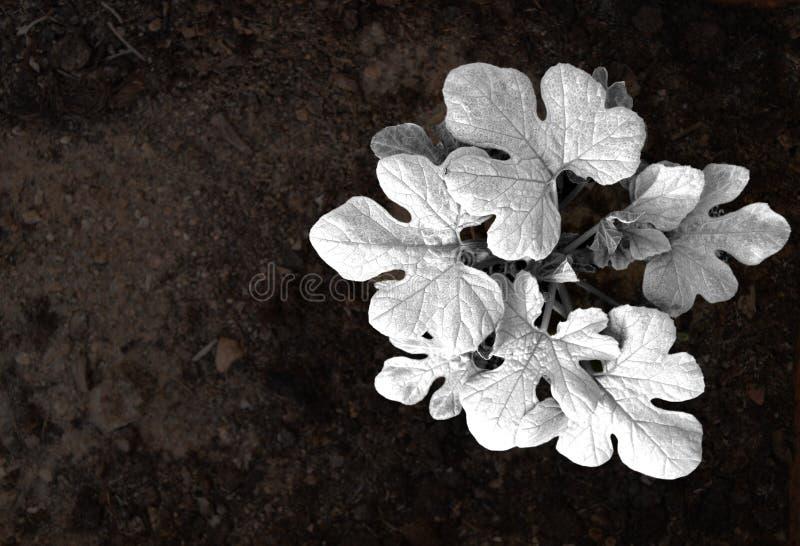 Usine noire et blanche de pastèque photos stock