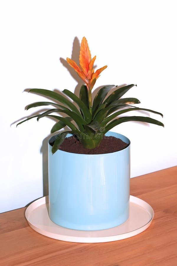 Usine orange de maison de bromélia de fleur image libre de droits