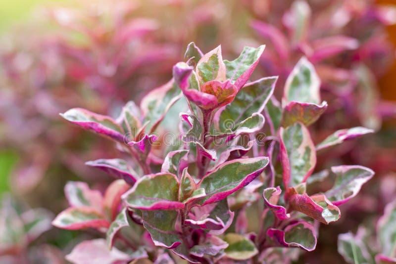 Usine ou Alternanthera rose de calicot dans le jardin photos stock
