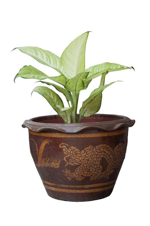 Usine ou Dieffenbachia de canne muette dans le pot brun d'isolement sur le fond blanc photo libre de droits