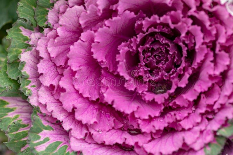 Usine pourpre-rose décorative fleurissante de chou Chou frisé ornemental Fond vif naturel Choux ornementaux Fleurs d'hiver photographie stock libre de droits