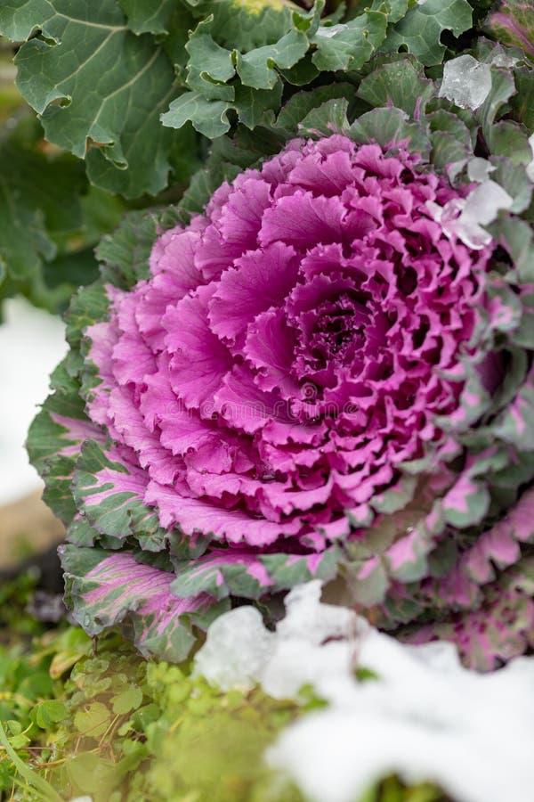 Usine pourpre-rose décorative fleurissante de chou Chou frisé ornemental Fond vif naturel Choux ornementaux Fleurs d'hiver photos stock