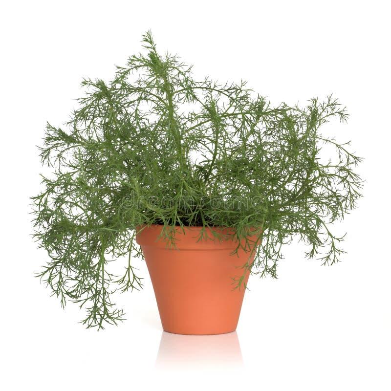 Usine romaine d'herbe de camomille photo stock