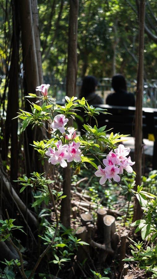 Usine rose de fleur en parc images stock